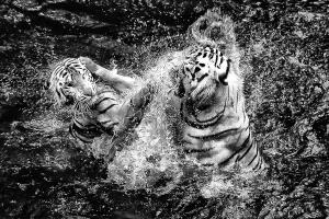 CPC Merit Award - Teck Boon Lim (Singapore) <br /> Tigers-Struggles In Water