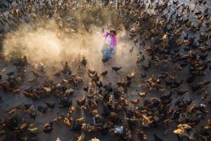PhotoVivo Gold Medal - Yushan Li (China)  Happy Song Of Chicken