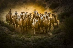 CPC Merit Award - Lijun Shi (China)  Drive Camels