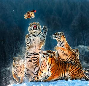 PhotoVivo Silver Medal - Muhong Xing (China)  The Tiger Pounced You