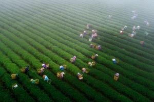 CPC Merit Award - Vinh Tuyen Duong (Vietnam) <br /> Harvesting Oolong Tea