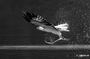 CPC Merit Award - Phillip Kwan (Canada) <br /> Fish Eagle 36 Bw
