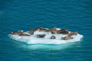 CPC Merit Award - Thomas Vijayan (Canada) <br /> Harbour Seal Iceberg